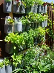 DIY Milk Jug Hanging Gardens - What a perfect way to make use of unused space to get food, practically for free!